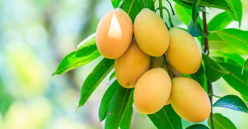ripe fruits on mango tree